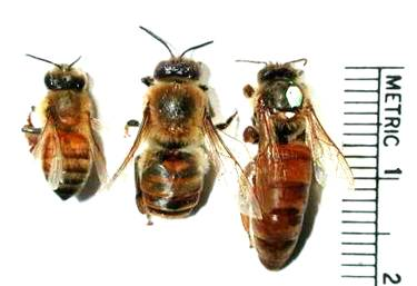 worker bee, drone and queen in line with a scale for size beside them