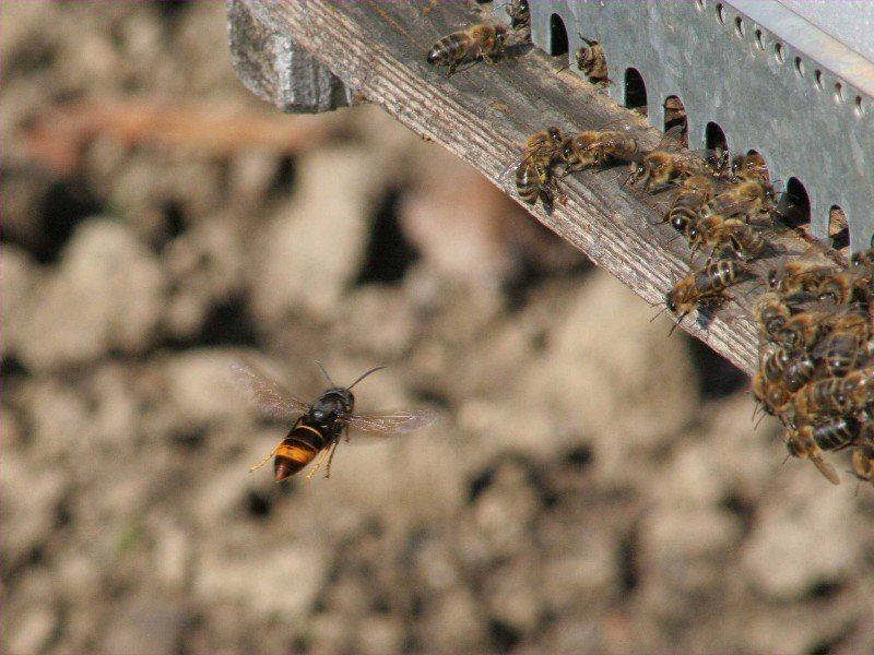 Asian hornet hawking at beehive
