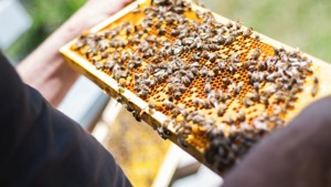 A beekeeper inspecting a busy frame