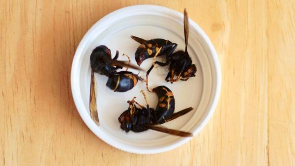 Asian hornets in a dish on table