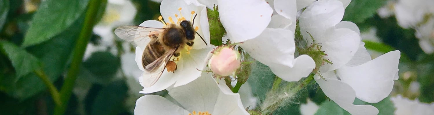 Why bees need trees? - a blog by Brigit Strawbridge