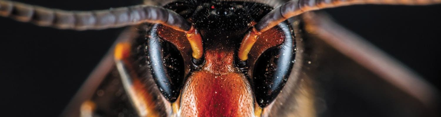 close up head  shot of Asian Hornet showing specks of pollen on eyes