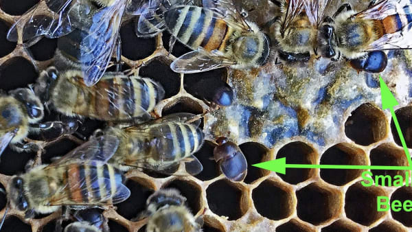 Serious Risk of Exotic Bee Pest Being Imported