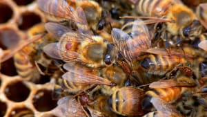 Reporting Varroa - April 2021