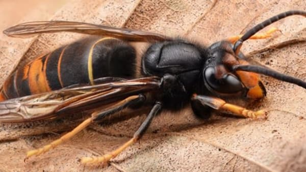 Unconfirmed sighting of Asian Hornet on UK Mainland