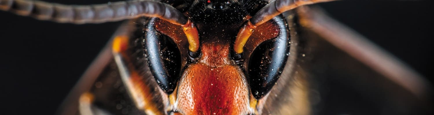 BBKA asks beekeepers to look for Asian Hornets