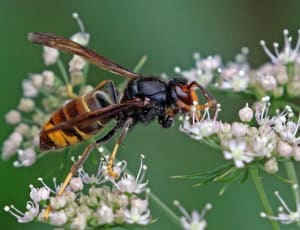 Asian Hornet on Blossom - Copyright: Sharp Photography