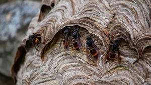 Prey Spectrum of Asian Hornets