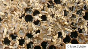 Government responds to Small Hive Beetle Petition